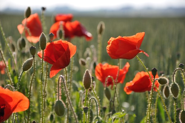 Types of Poppies