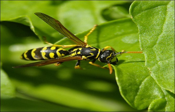 Uses of Parasitic Wasps