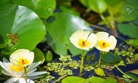 Water Poppy
