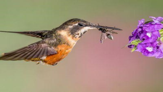 What Do Baby Hummingbirds Eat