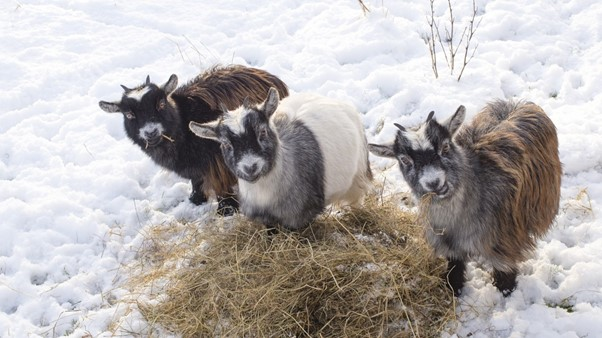 What Is a Wether Goat and Why Would You Want One