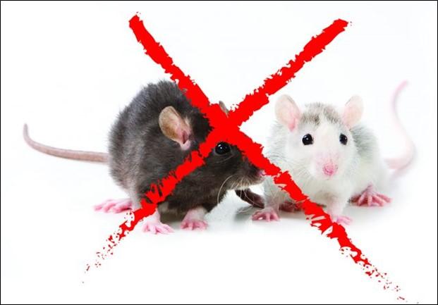 What Is the Best Rat Bait