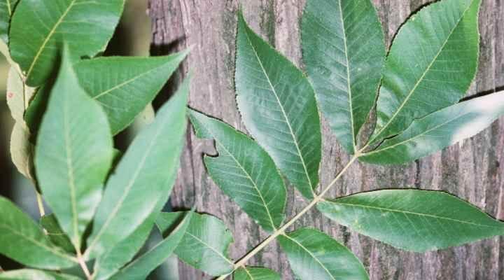 Hickory Tree leaves