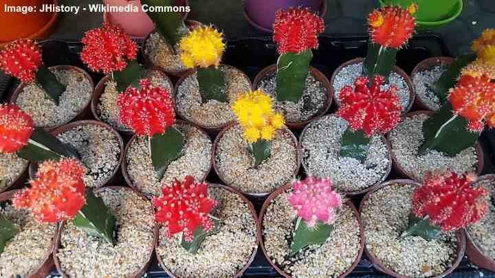 Origin of Grafted Cactus