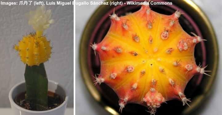 Ways to pot a Moon Cactus