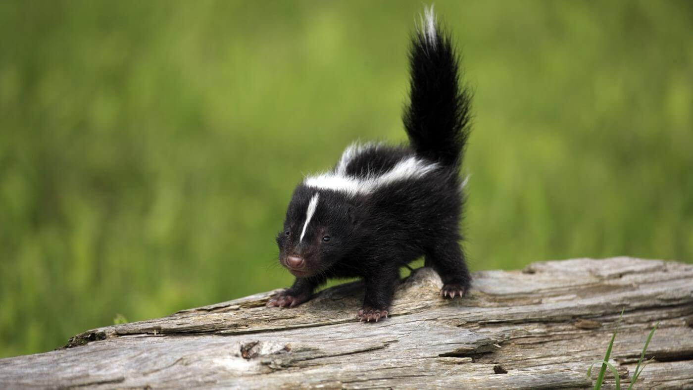 7 Tips to Get Rid of Skunks from Under Your Deck