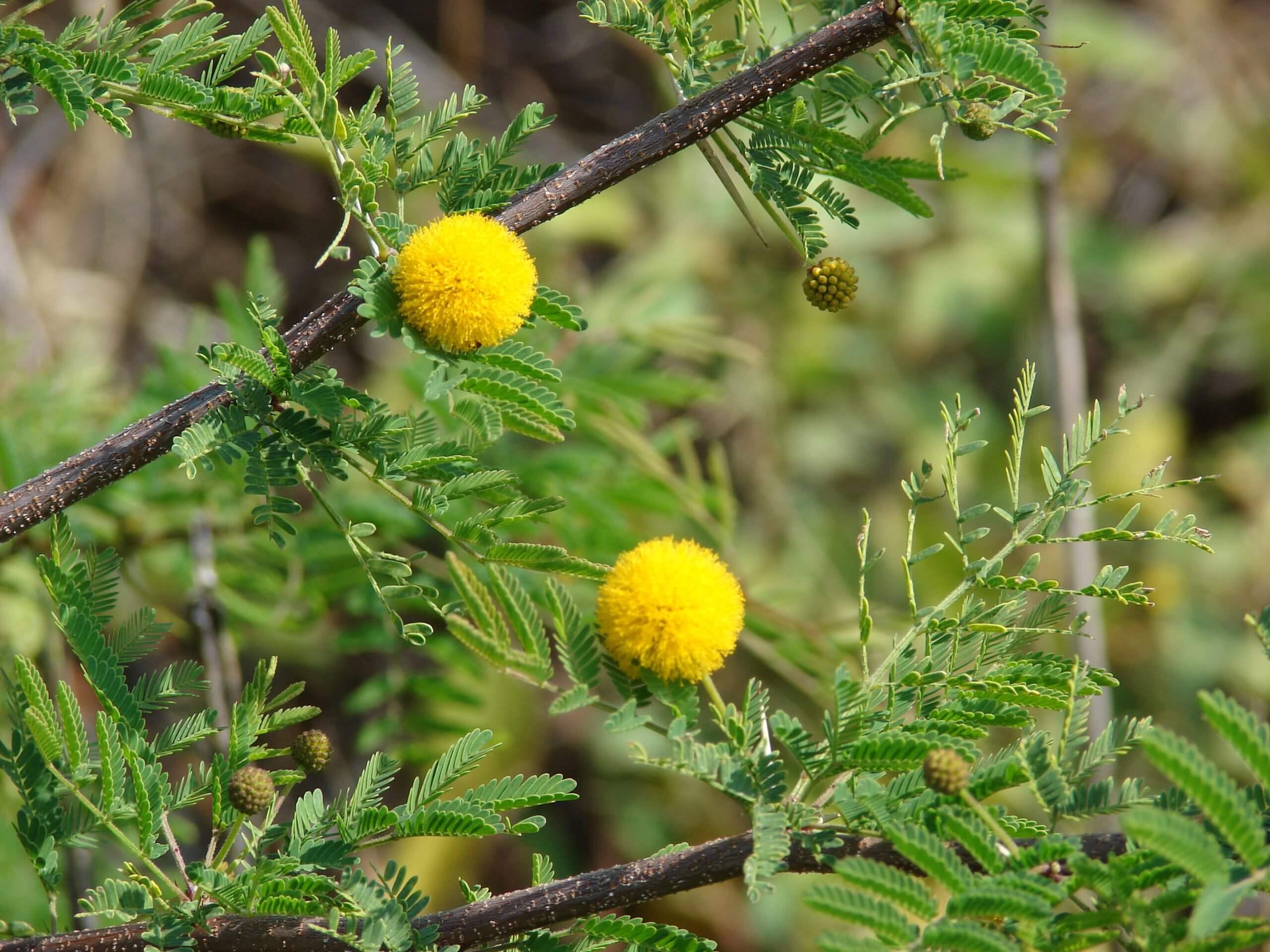 Acacia Farnesiana (Vachellia farnesiana)