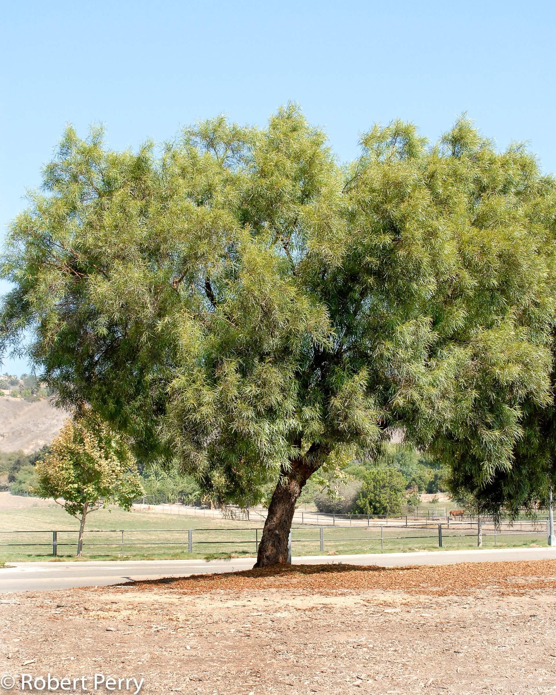 African Sumac (Rhus lancea)