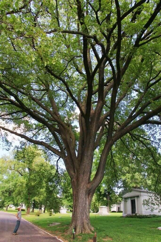 American Elm Tree (Ulmus Americana)