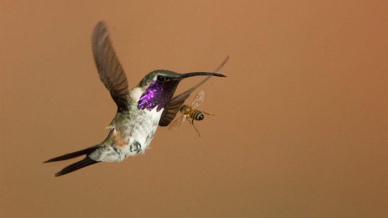 Battling Bees at Hummingbird Feeders