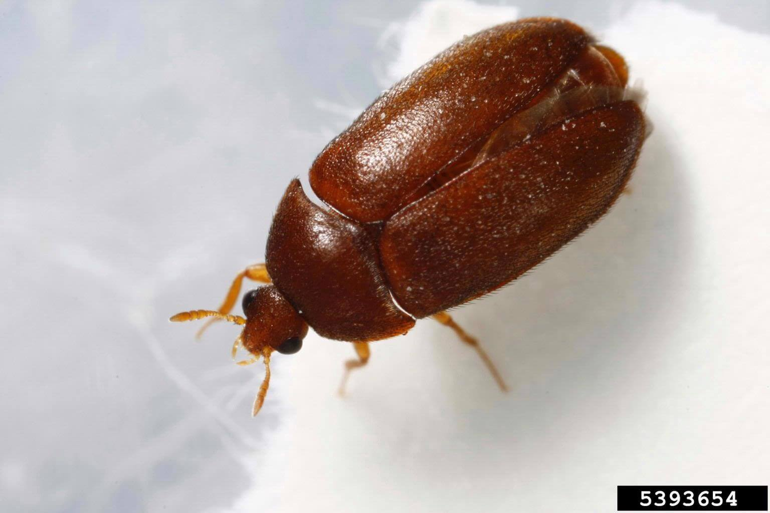 Black Carpet Beetles