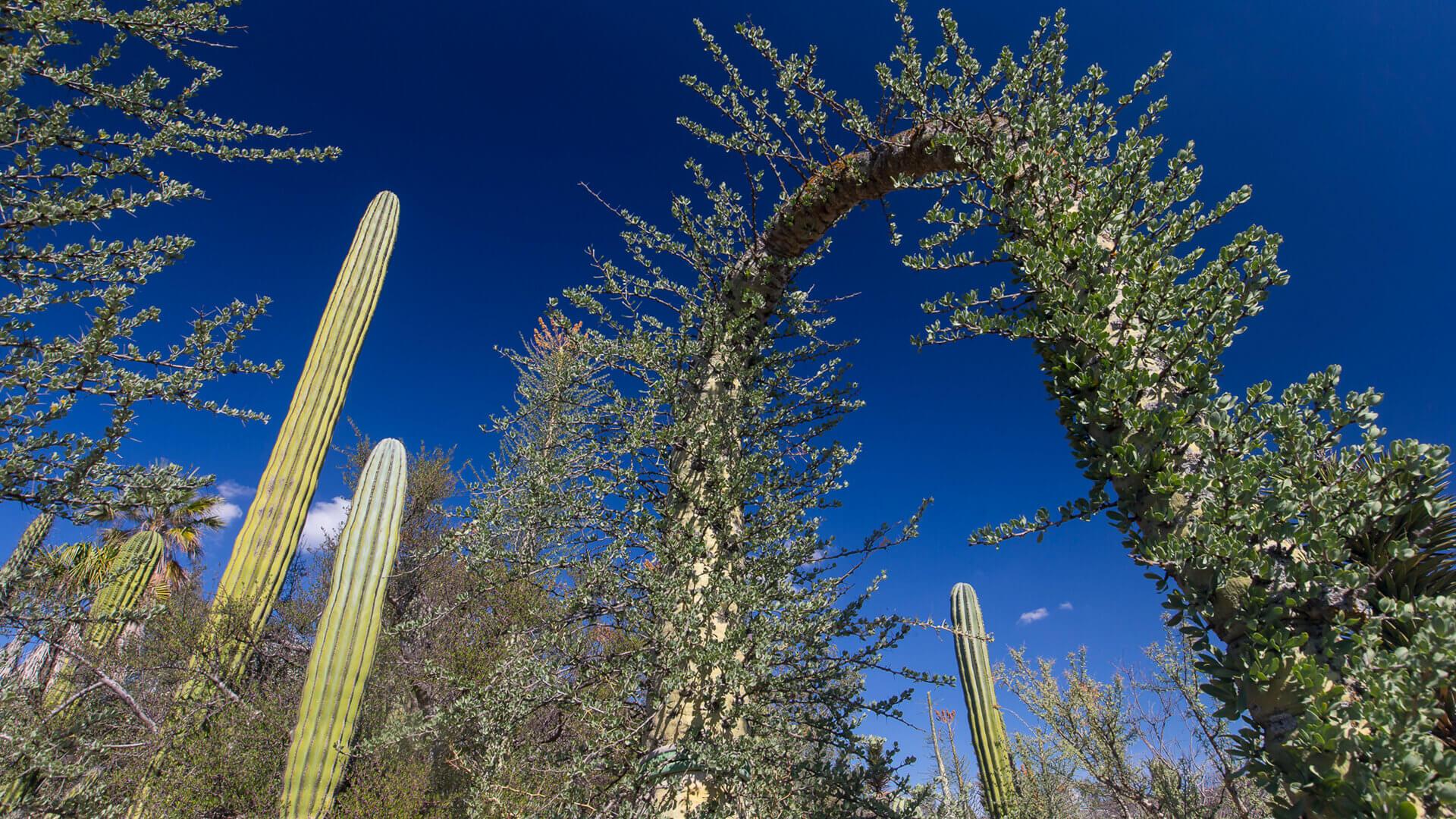 Boojum Tree (Fouquieria columnaris)