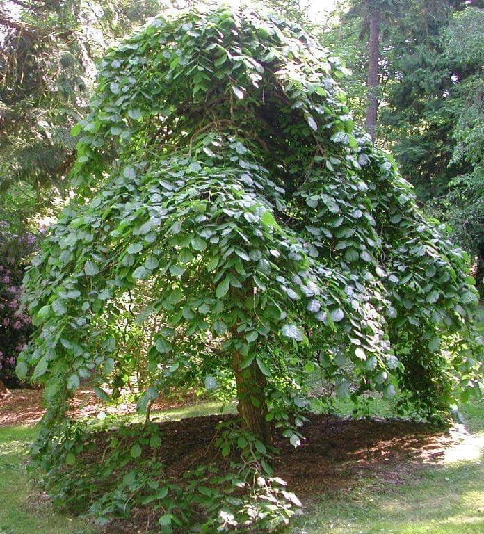 Camperdown Elm Tree (Ulmus Glabra 'Camperdownii')