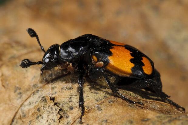 Common Sexton Beetle (Nicrophorus vespilloides) adult