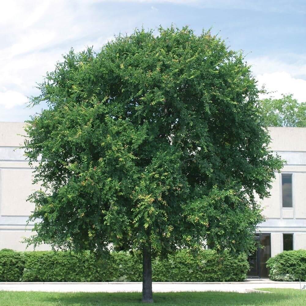 Cedar Elm Tree (Ulmus Crassifolia)