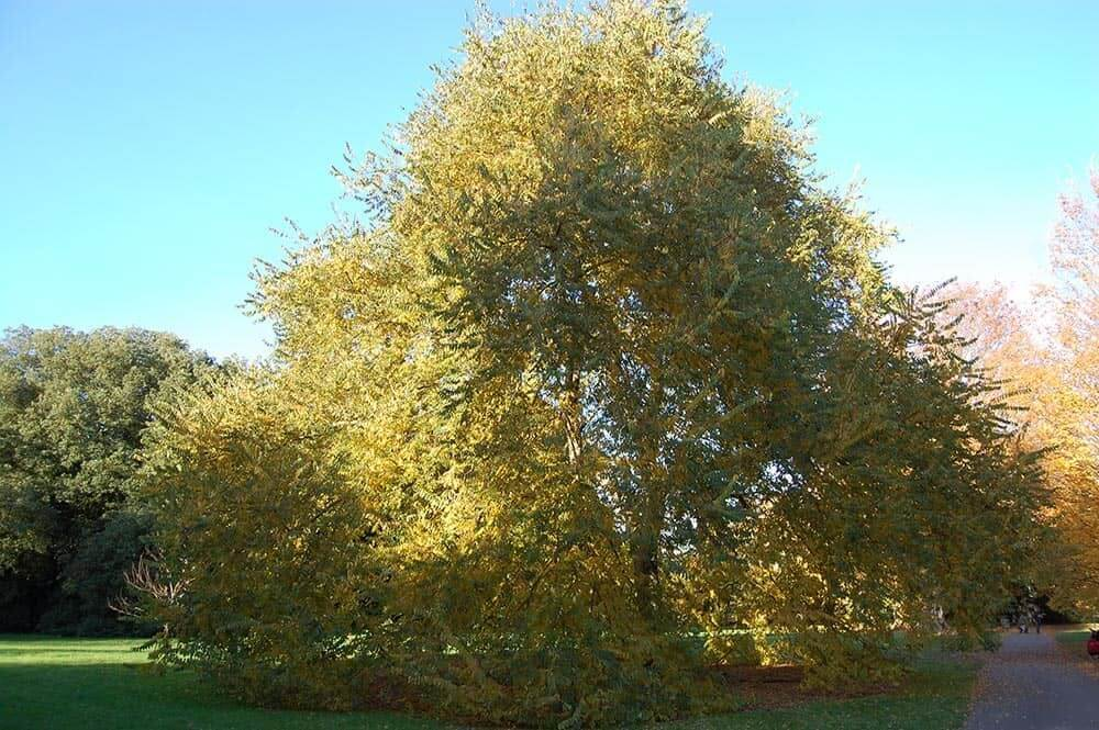 Cherry Bark Elm Tree (Ulmus Villosa)