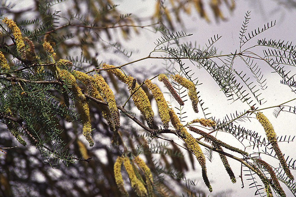 Chilean Mesquite (Prosopis Chilensis)