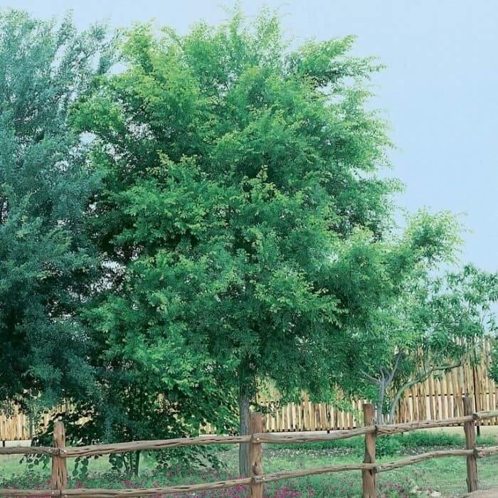 Chinese Elm Tree (Ulmus Parvifolia)