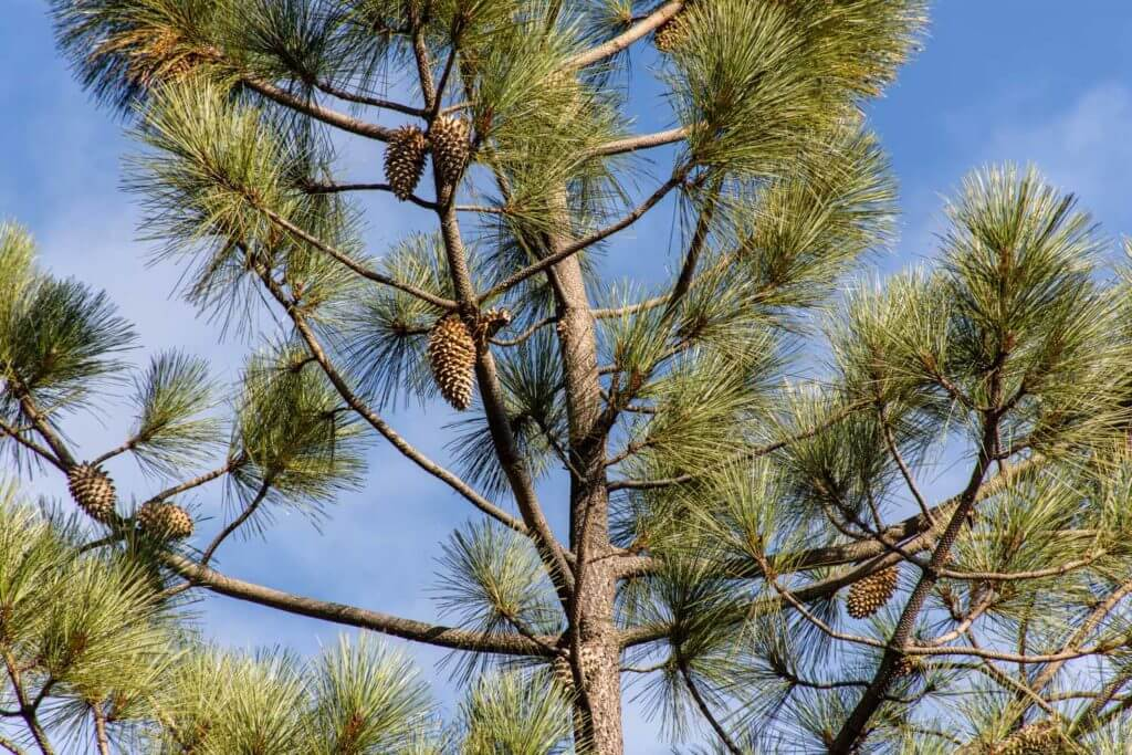 Coulter Pine Tree