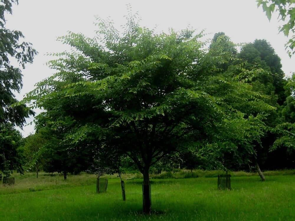 David Elm Tree (Ulmus Davidiana)
