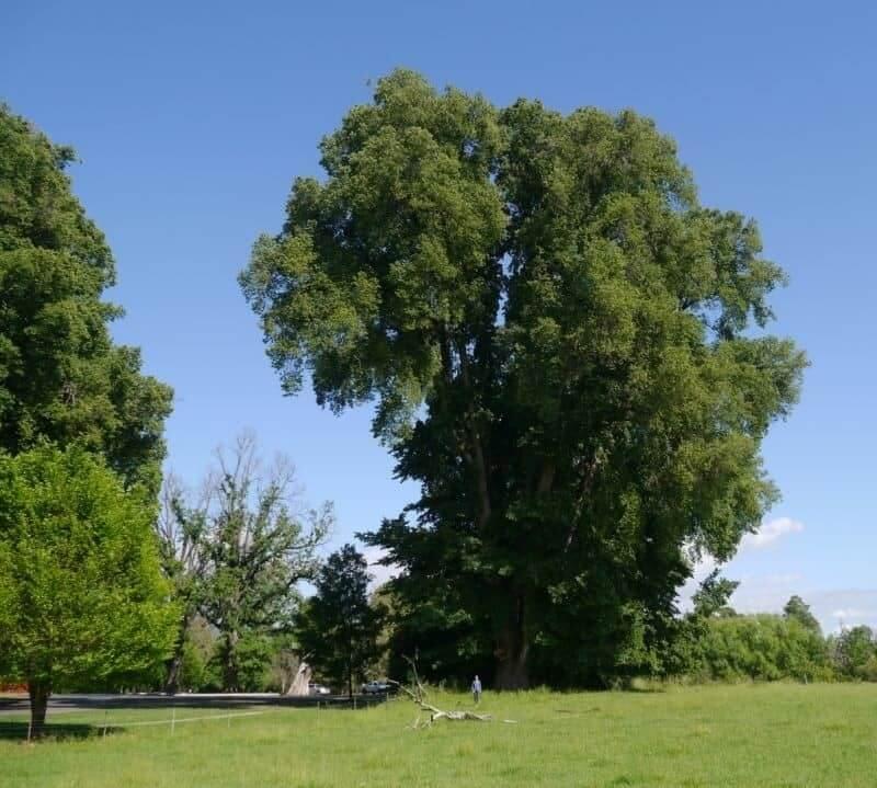 English Elm Tree (Ulmus Minor 'Atinia')