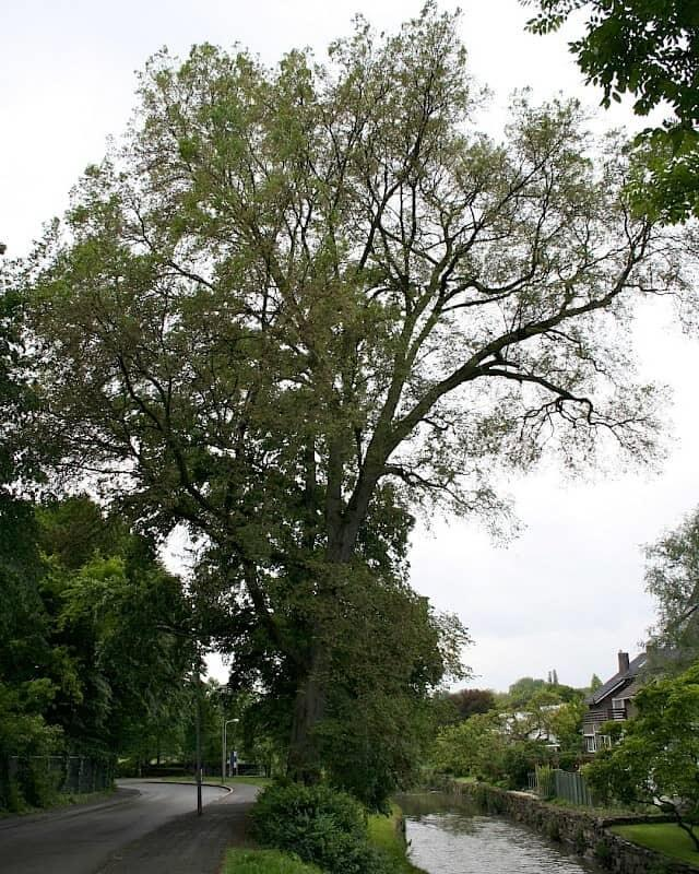 European White Elm Tree (Ulmus laevis)