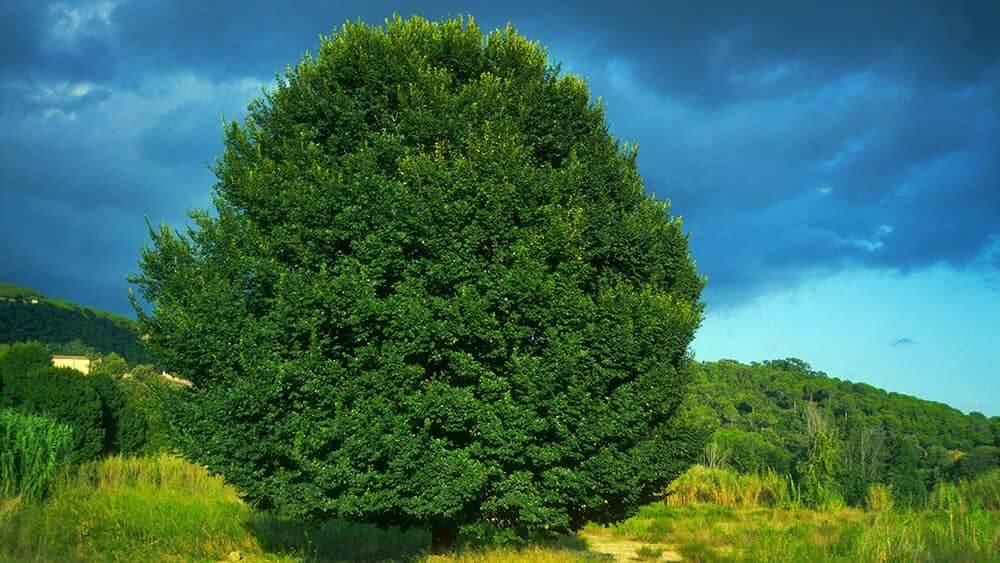 Field Elm Tree (Ulmus Minor)