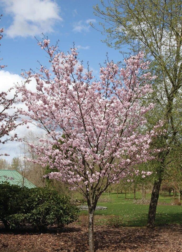 Flagpole Cherry Tree