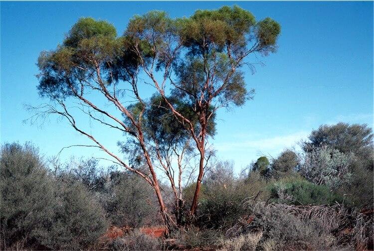 Forman's Eucalyptus (Eucalyptus formanii)