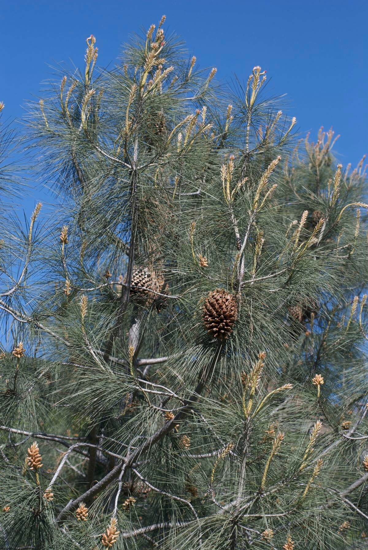 Gray Pine Tree
