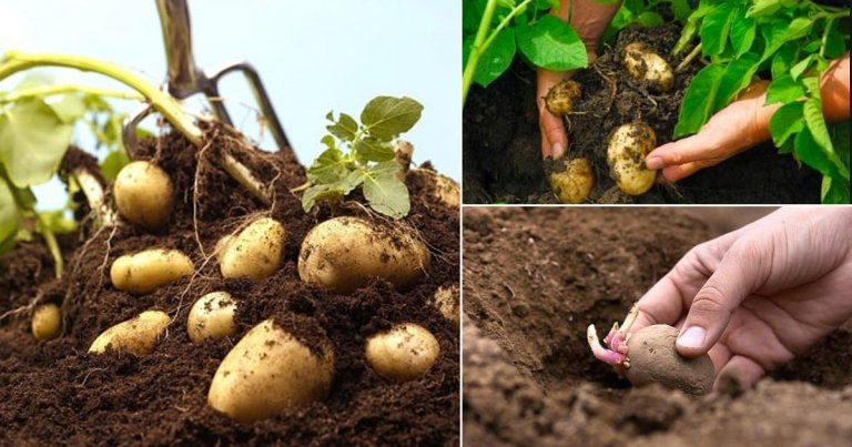 How to Grow Potatoes Indoors for a Healthier Lifestyle