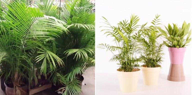 Indoor Palm Plants