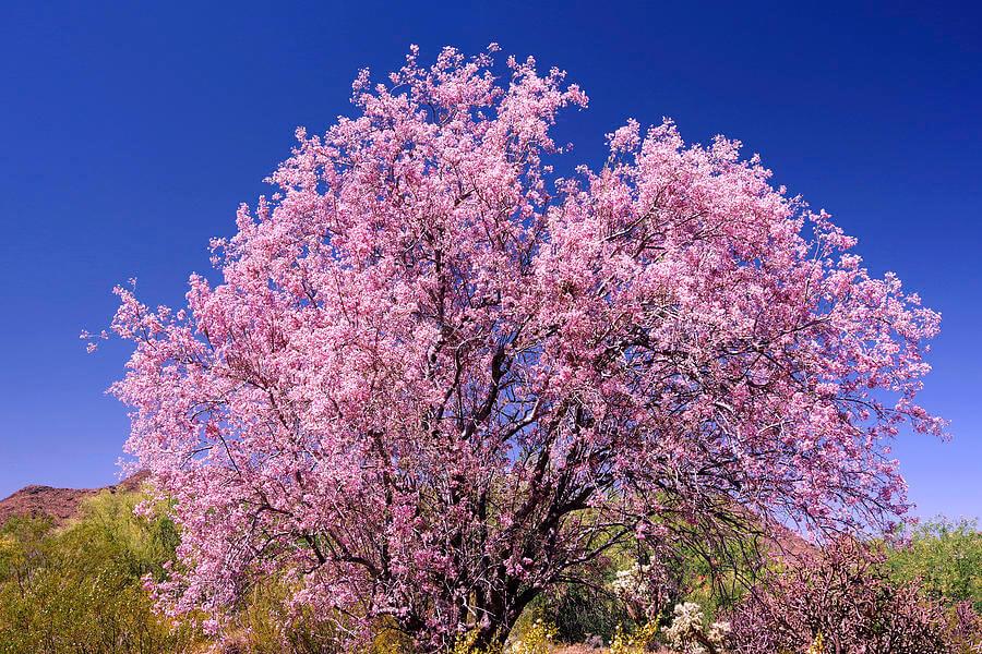 Ironwood Tree (Olneya tesota)