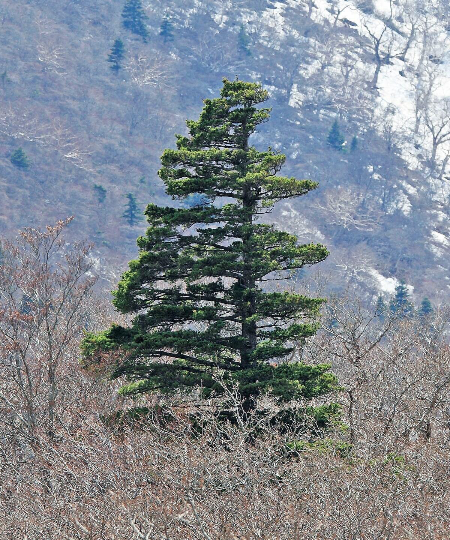 Japanese Whine Pine