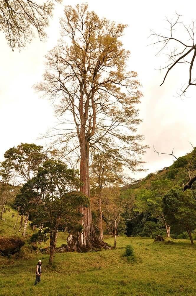 Mexican Elm Tree (Ulmus Mexicana)