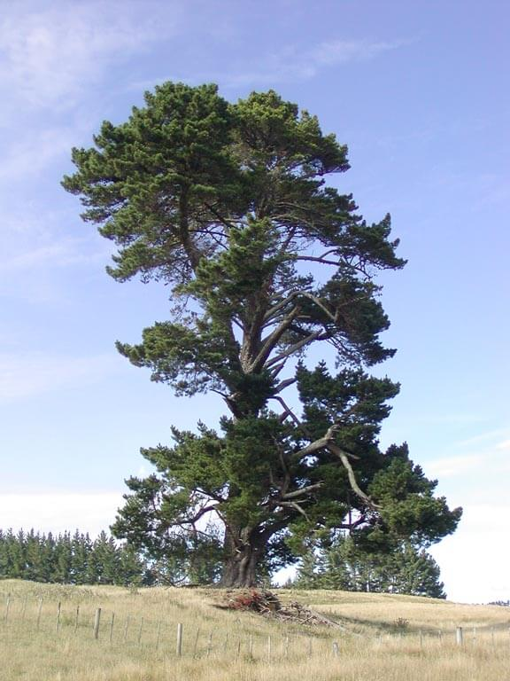 Monterey-Pine-Tree