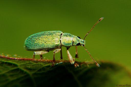 Pale Green Weevil Beetles