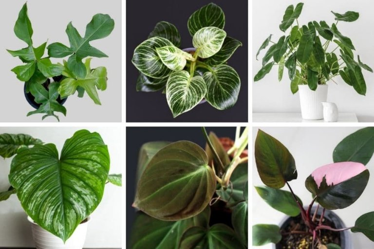 Philodendron Types and its Care Guide