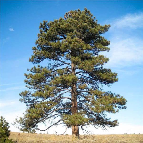 Ponderosa Pine Tree