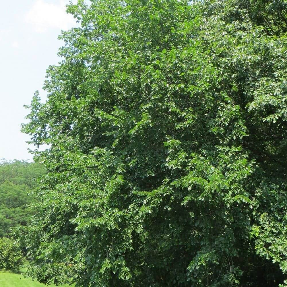 Rock Elm Tree (Ulmus Thomasii)