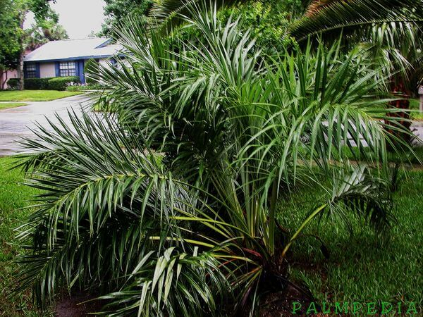 Sand Palm (Allagoptera Arenaria)