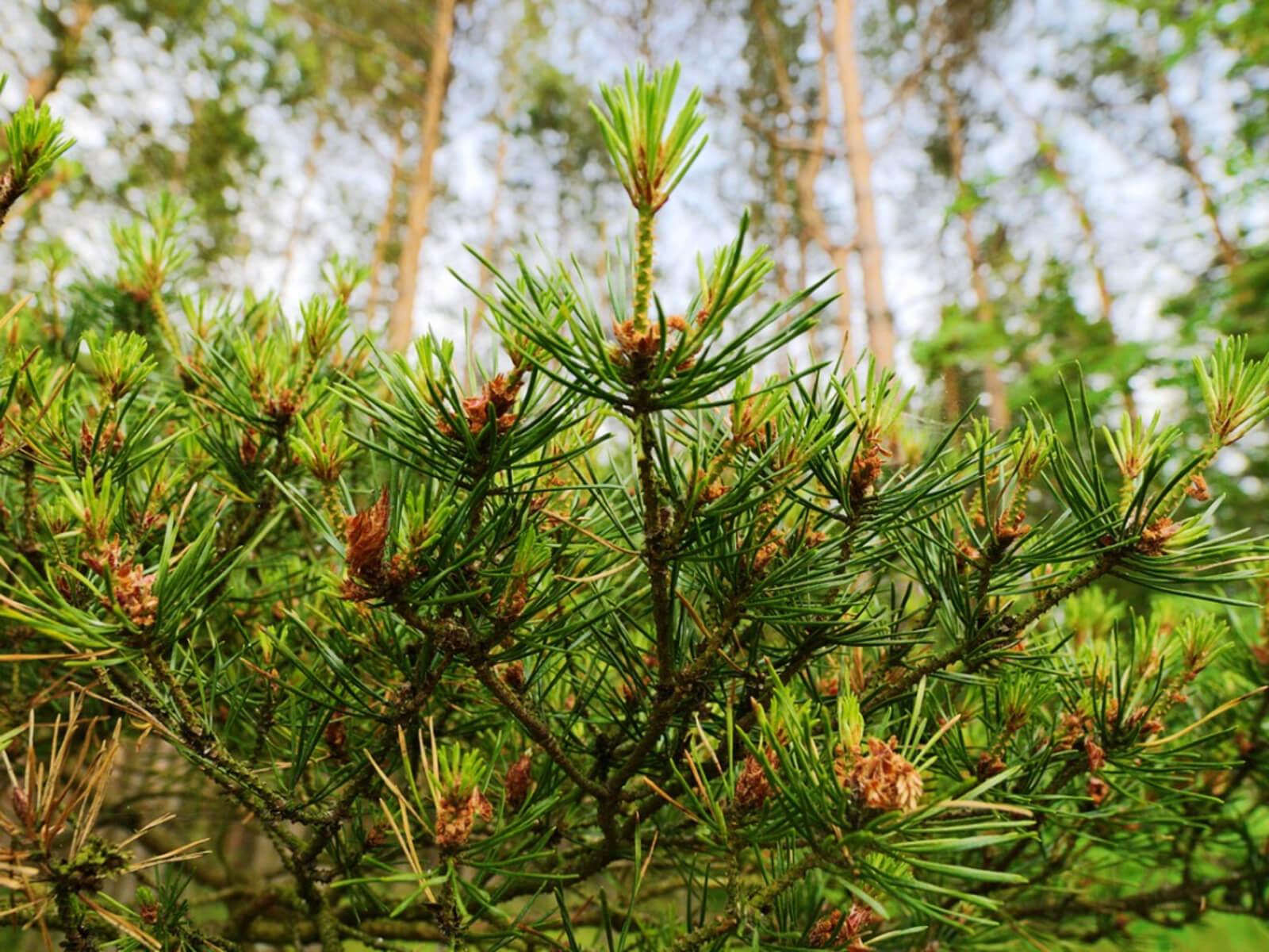 Scots (Scotch) Pine Tree