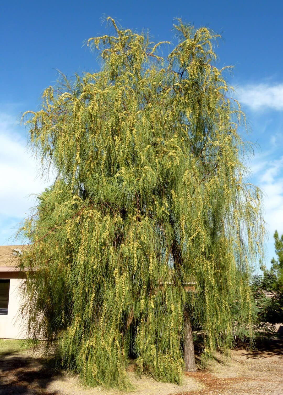 Shoestring Acacia (Acacia stenophylla)