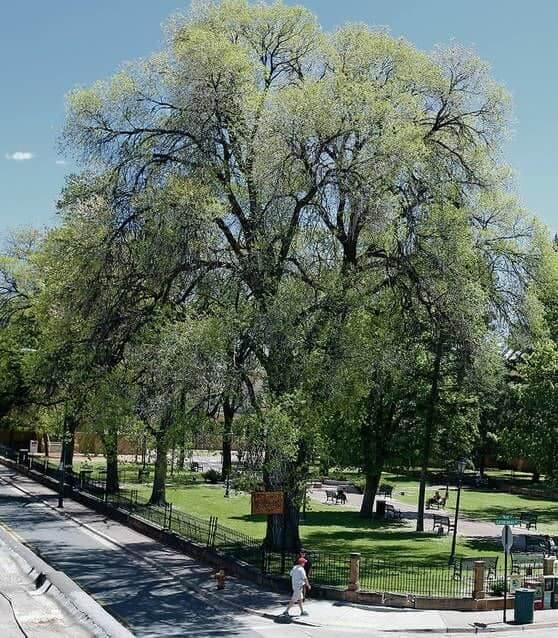 Siberian Elm Tree (Ulmus Pumila)