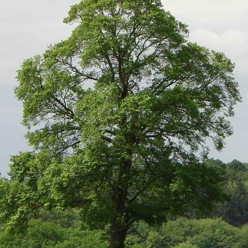 Slippery Elm Tree (Ulmus Rubra)