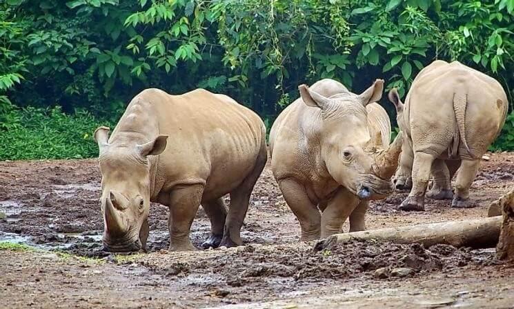 Sumatran Rhinoceros