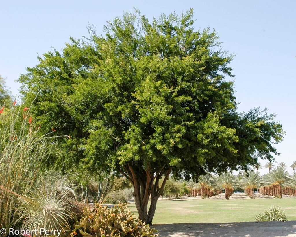 Texas Ebony (Ebenopsis ebano)