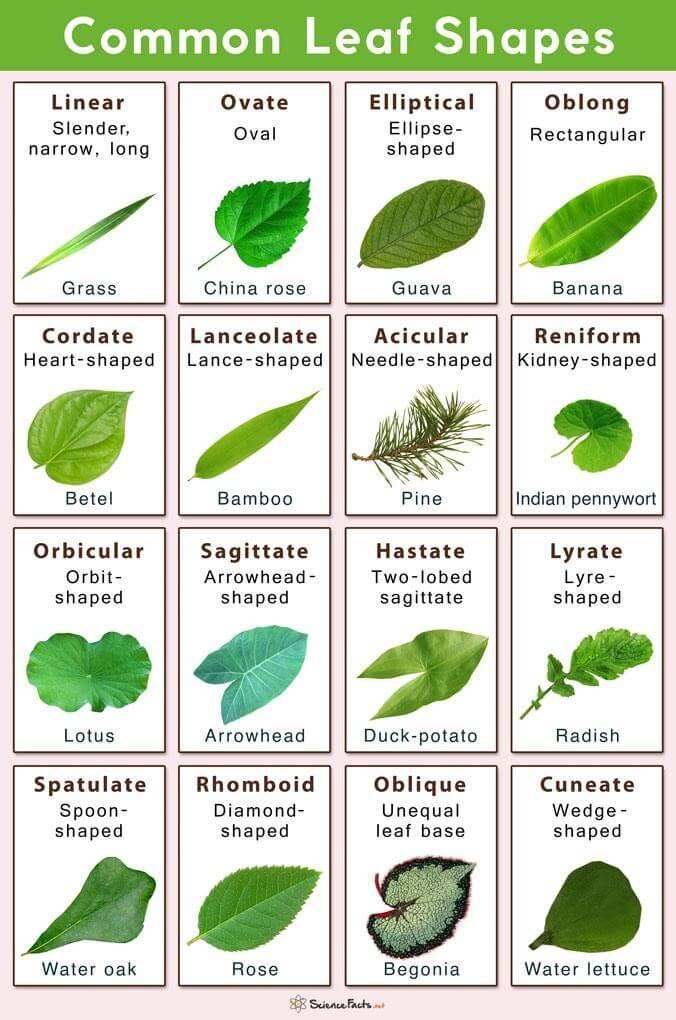Tree leaf identification Shapes