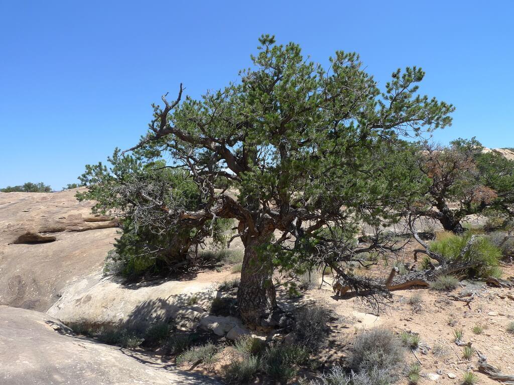 Two Needle Pinyon Pine Tree