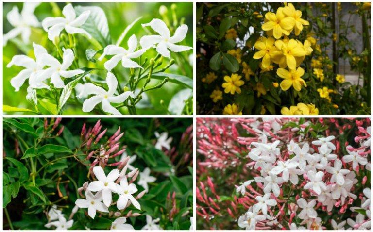 Types of Jasmine Flowers